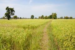 Grań w ryżu polu zdjęcie stock