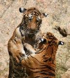 Gra duzi tygrysy w jeziorze, Tajlandia Obraz Stock