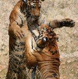 Gra duzi tygrysy w jeziorze, Tajlandia Zdjęcia Stock