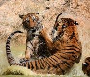 Gra duzi tygrysy w jeziorze, Tajlandia Obrazy Royalty Free