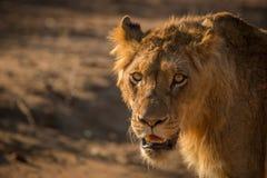 Gra główna rolę młody męski lew w Kruger Zdjęcia Stock