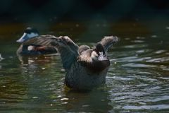Gra ptaki w Hambanthota ptaka ogródu insouthern prowinci Zdjęcie Royalty Free