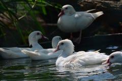 Gra ptaki w Hambanthota ptaka ogródzie w południowej prowinci Zdjęcie Royalty Free