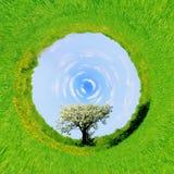 360 graadmening van Enige tot bloei komende boom in de lente Royalty-vrije Stock Afbeelding