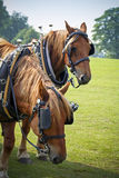 Graafschappaarden op zonnig gebied die bij de markt van het land rusten Stock Foto