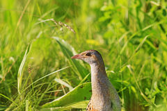 Graan crake portret in het groene gras stock afbeelding