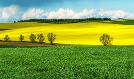 Graan en raapzaadgebieden in de lente Stock Foto