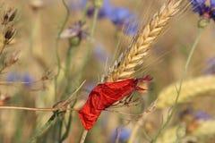 Graan en rood bloemblaadje Royalty-vrije Stock Foto