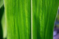 Graan groen blad in zonnige lichte macro Stock Afbeelding