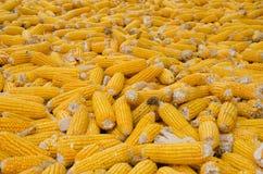 Graan het oogsten Stock Afbeeldingen