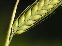 Graan klaar voor de oogst stock afbeeldingen