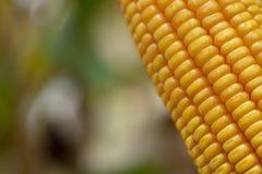 Graan of Maïs voor verwerking in geel veevoeder Sluit omhoog kader stock fotografie