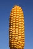 Graan: Voedsel of Bio-Fuel Royalty-vrije Stock Foto's