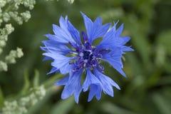 Graanbloem, blauw, Centaurea-cyanus Een onkruid stock foto