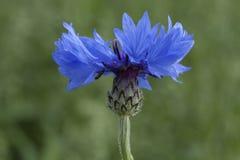 Graanbloem, blauw, Centaurea-cyanus Een onkruid stock afbeelding