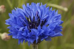 Graanbloem, blauw, Centaurea-cyanus Een onkruid stock fotografie