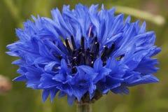 Graanbloem, blauw, Centaurea-cyanus Een onkruid royalty-vrije stock foto's