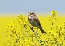 Graanbunting die (Miliaria-calandra) op een raapzaadgebied zingen stock foto's