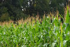 Graangebied met groene pitten stock foto