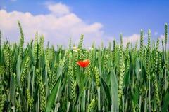 Graangebied met rode papaver Stock Fotografie