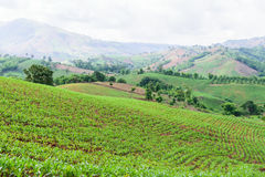 Graangebied op de berg in platteland Stock Afbeeldingen