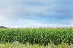 Graangebied tegen een blauwe hemel royalty-vrije stock afbeeldingen