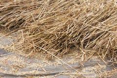 Graangewassen bij een dorsvloer Stock Foto