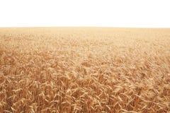 Graangewassengebied over wit Stock Foto