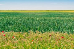 Graangewassengebied in Spanje tijdens de lente Castilla en Leon stock foto