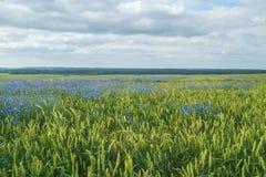 Graangewassenweide in Letland Blauwe Bloemen Royalty-vrije Stock Afbeelding