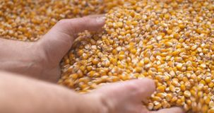 Graankorrels in landbouwershanden stock video
