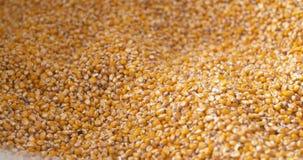 Graankorrels in landbouwershanden stock videobeelden