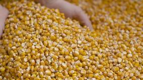 Graankorrels in landbouwershanden stock footage