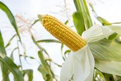 Graanlandbouwbedrijf Een selectief nadrukbeeld van maïskolf op organisch graangebied stock foto's