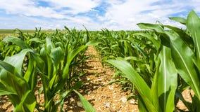 graanstruiken op gebied in het gebied van Picardie van Frankrijk Royalty-vrije Stock Fotografie
