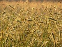 Graanveld, Springendal, Twente; Wheat field Springendal, Twente,. Netherlands stock photography