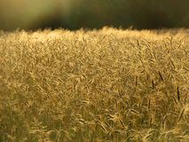Graanveld, Springendal, Twente; Wheat field Springendal, Twente,. Netherlands royalty free stock photo