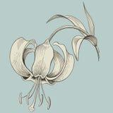 Grabado de la flor del lirio o gráfico de la tinta. Vector Imagen de archivo libre de regalías
