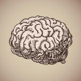 Grabado del cerebro Cuerpo humano rosado ejemplo en estilo del bosquejo Fotos de archivo