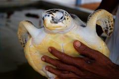 Grabbhänder som rymmer en stor gul sköldpadda med en stor näbb sparande djur i forskningsprojektet för beskydd för havssköldpaddo fotografering för bildbyråer