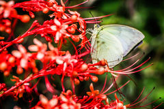 Grabbing Flower. Light green butterfly is grabbing flower Stock Images