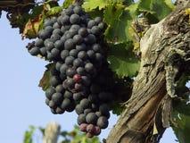 grabe wijnstok Royalty-vrije Stock Fotografie