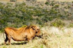 Graben in das Gras - Phacochoerus africanus das allgemeine warth Stockbild