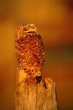 Graben der Eule, Athene cunicularia, Nachtvogel mit schönem Abendsonnenlicht, Tier im Naturlebensraum, Mato Grosso, Pantana Stockfotografie
