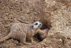 Graben des Meerkat Mungos Lizenzfreies Stockbild