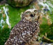 Graben von Owl Calling Lizenzfreie Stockbilder