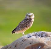 Graben von Owl Portrait lizenzfreies stockfoto