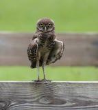 Graben von Owl Staring auf Zaun Lizenzfreies Stockfoto