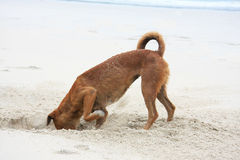 Grabender Hund Stockfoto