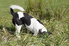 Grabender Hund Stockbild